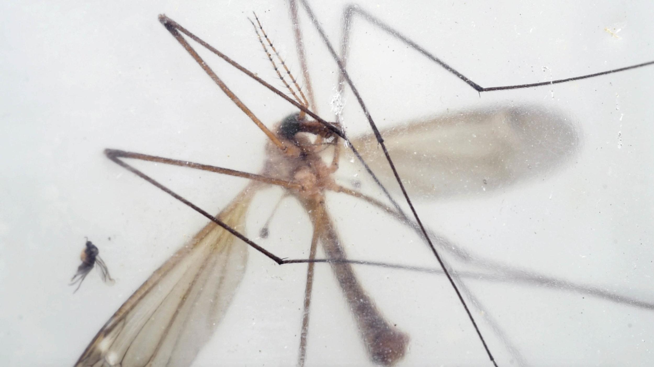 A Crane Fly, a bug eaten by the Little Brown Bat