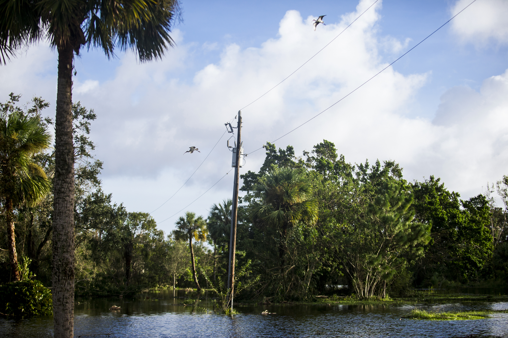 Birds fly over a field flooded by Hurricane Irma.