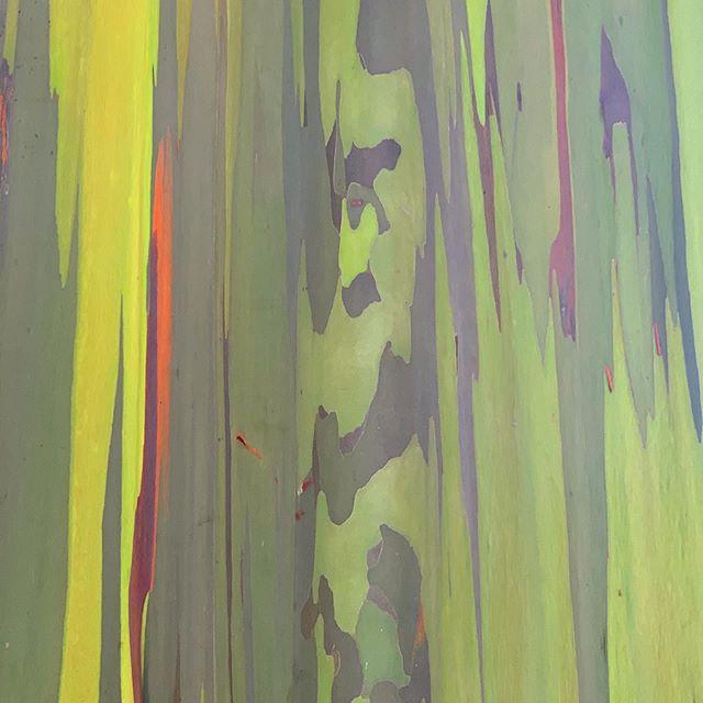 Jungle vibs. . . . #bark #jungle #tropicalforest #gumtree #palms #mangotrees #palmtrees #vines #canopytrees #hawaii #oahu #hnl #hilife #fouroceanslife
