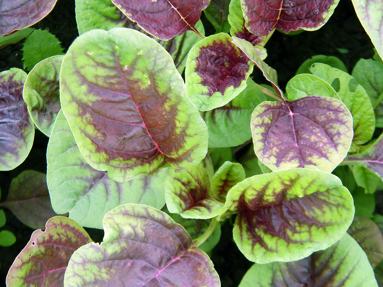 Amaranth, Red Leaf, Heirloom