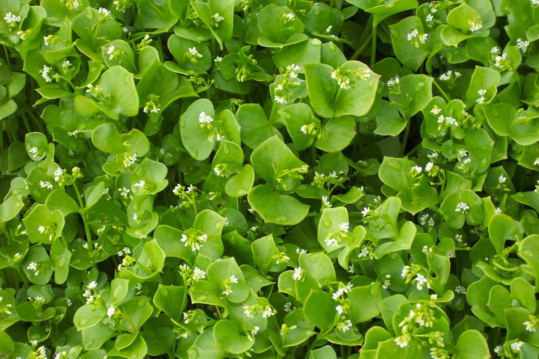 Miner's Lettuce, Heirloom - North America