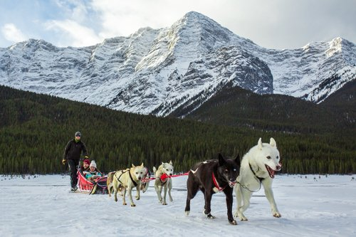 Canmore-Dog-Sled-Tours-Snowy-Owl