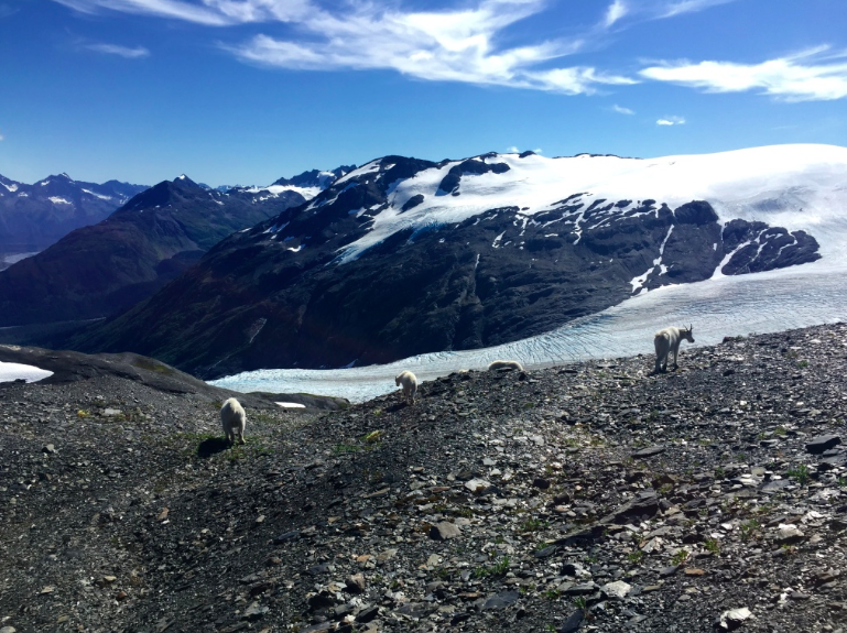 Mountain goats near the top of the Exit Glacier hike
