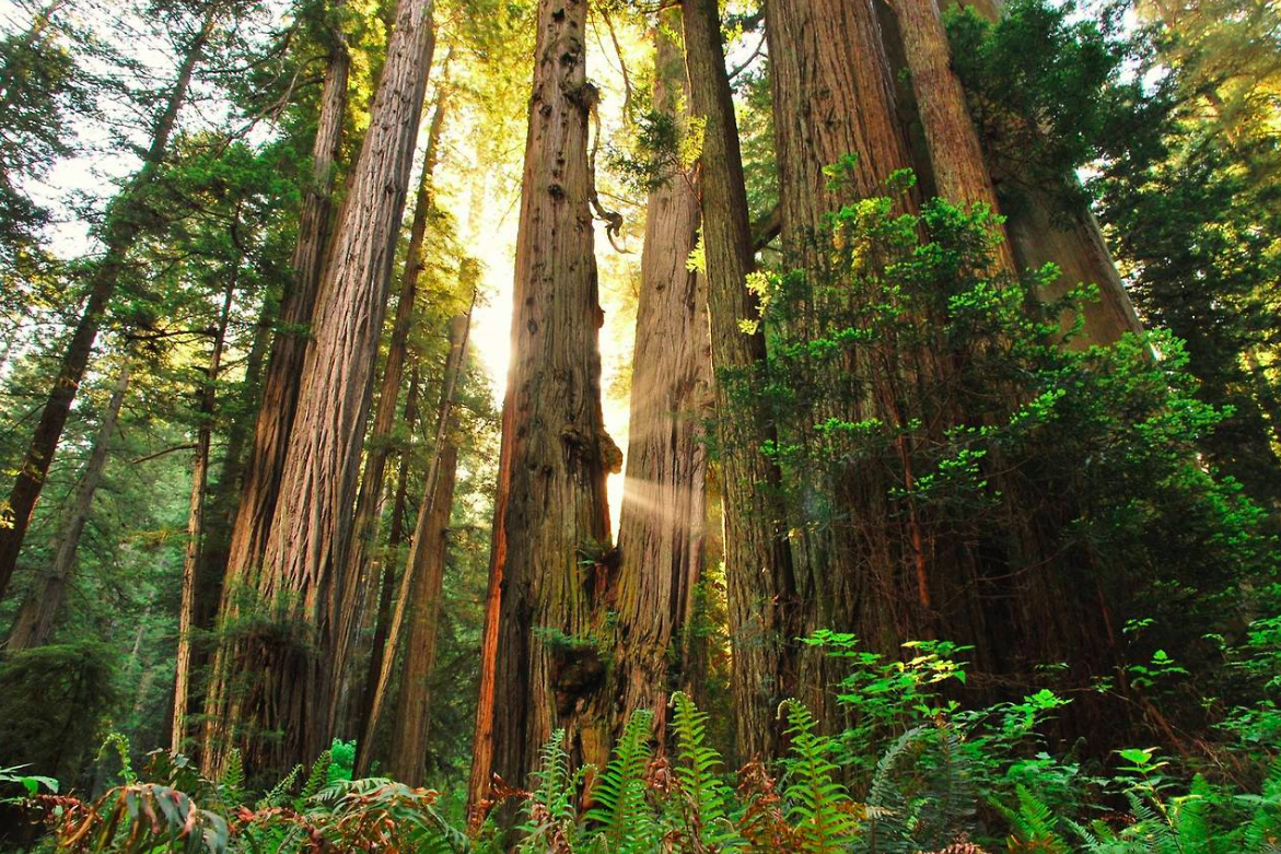 Redwoods National Park is one of great sadness, for me. The Save-The-Redwoods League was founded in 1918 to preserve old growth forest. They helped create Prairie Creek, Del Norte Coast, and, Jedediah Smith Redwoods State Parks. It wasn't until 1968 that the national park was created after 90% of the Redwoods had been forested.