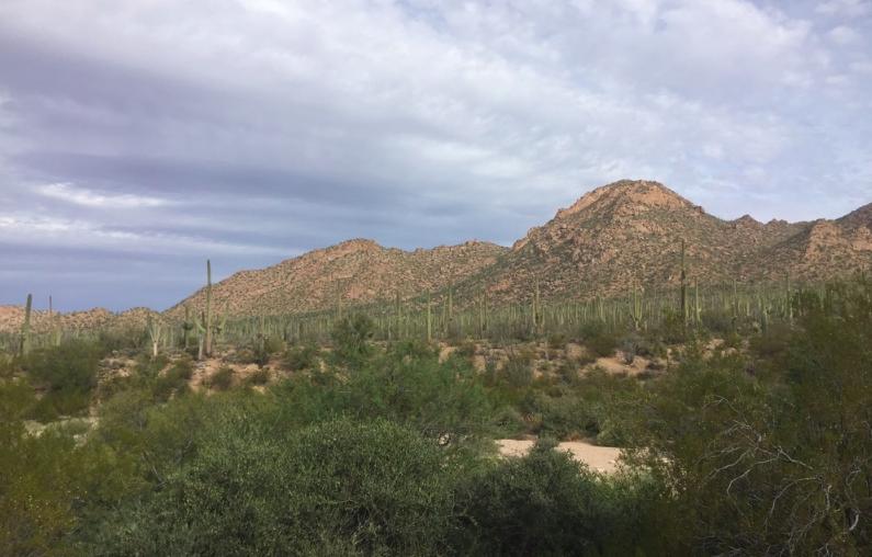 So many Saguaros!