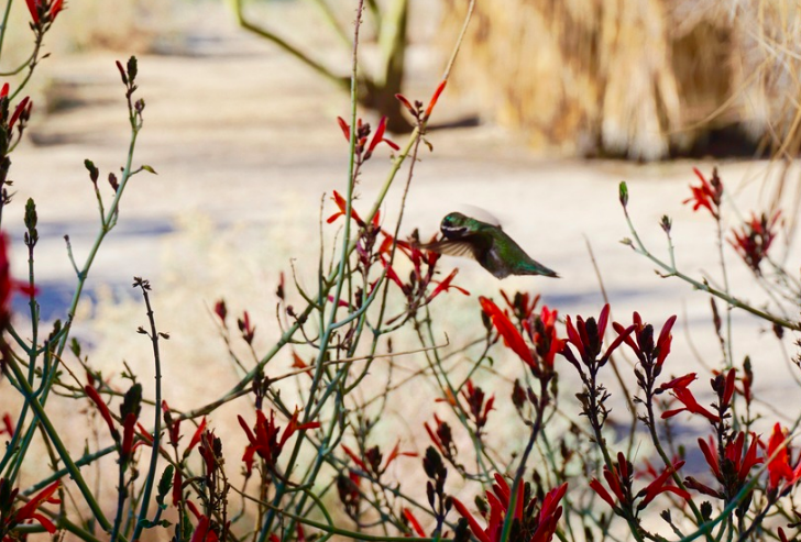 I love that the desert of Joshua Tree has beautiful flowers and hummingbirds.