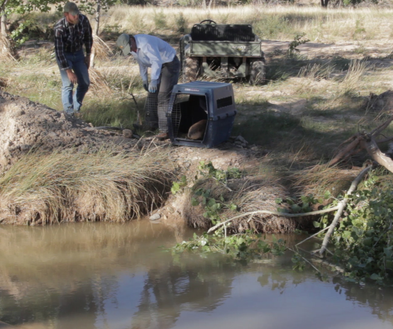 Reintroducing beaver on a ranch, at the request of the land owners, for stream restoration.