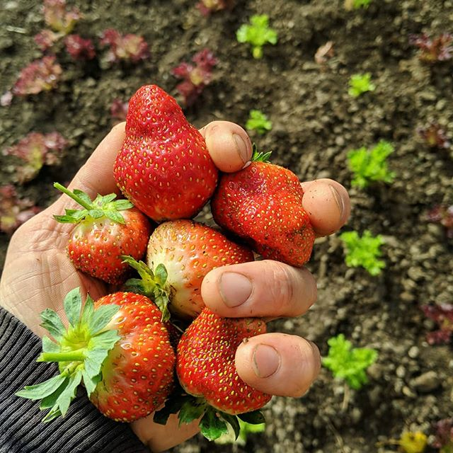 Just late October in Central Maine. We can do this.  #eatlocal #mainegrown #strawberries