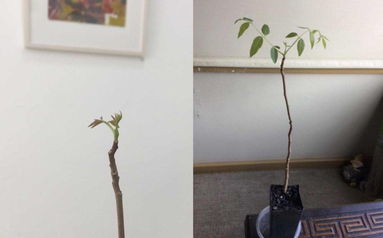 left: Australian Cedar Tree left Gallery 139       right: one week later