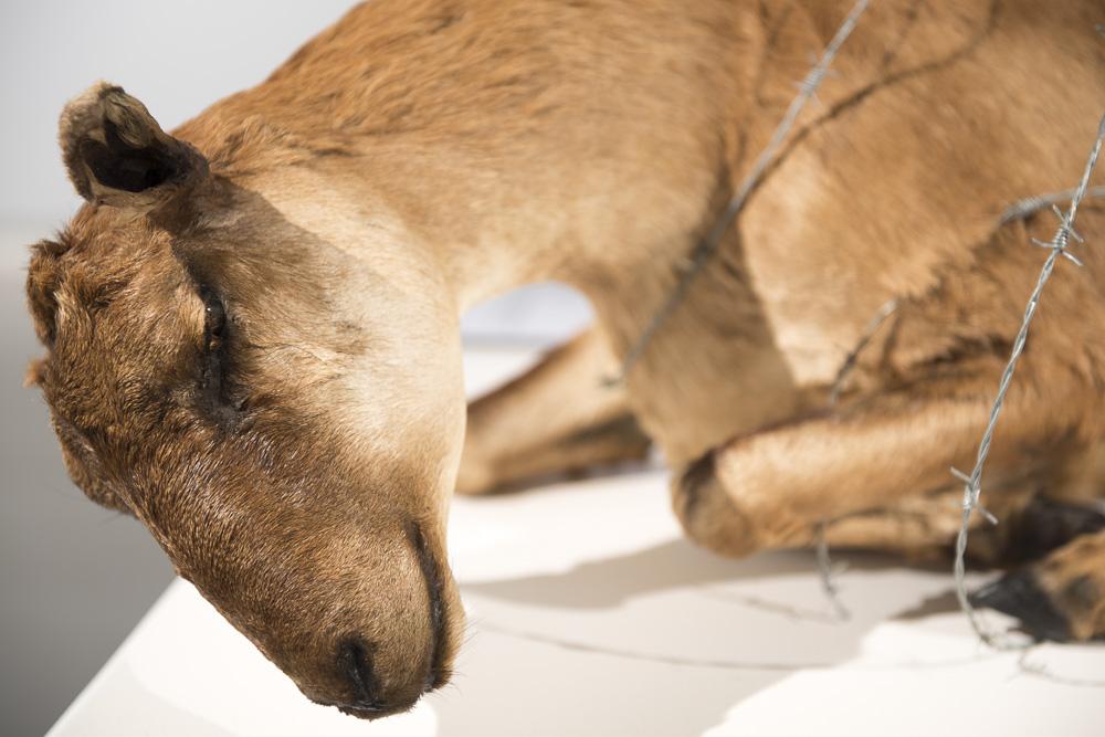 Mouflon, detail