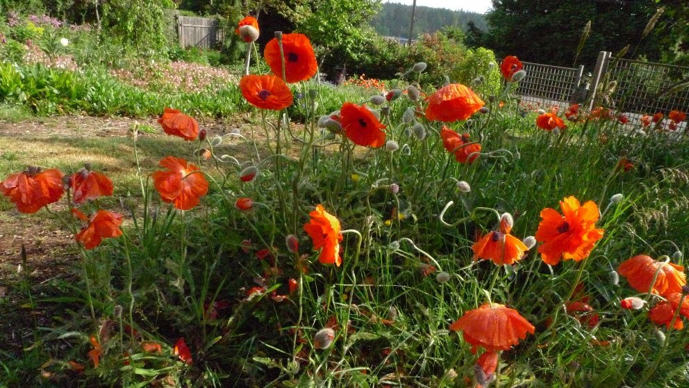 Kelly's original poppies, photo