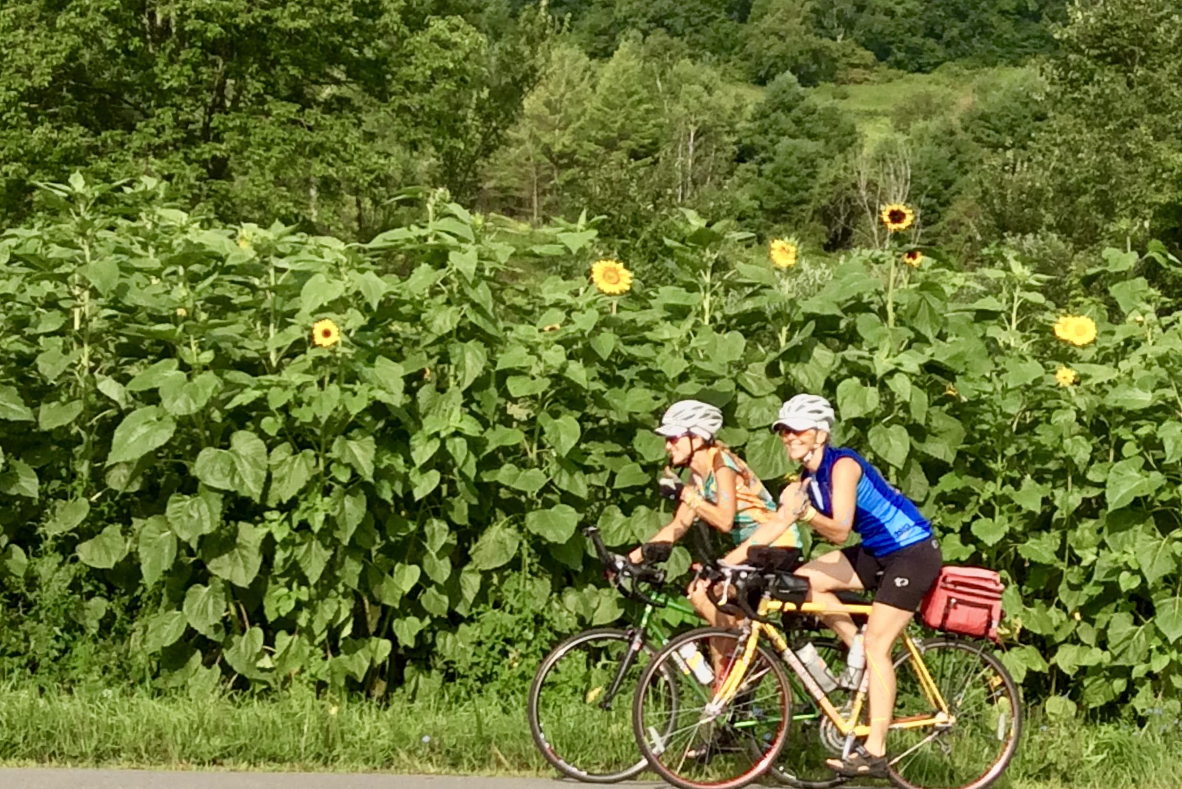 Sunflowers in Eastern New York