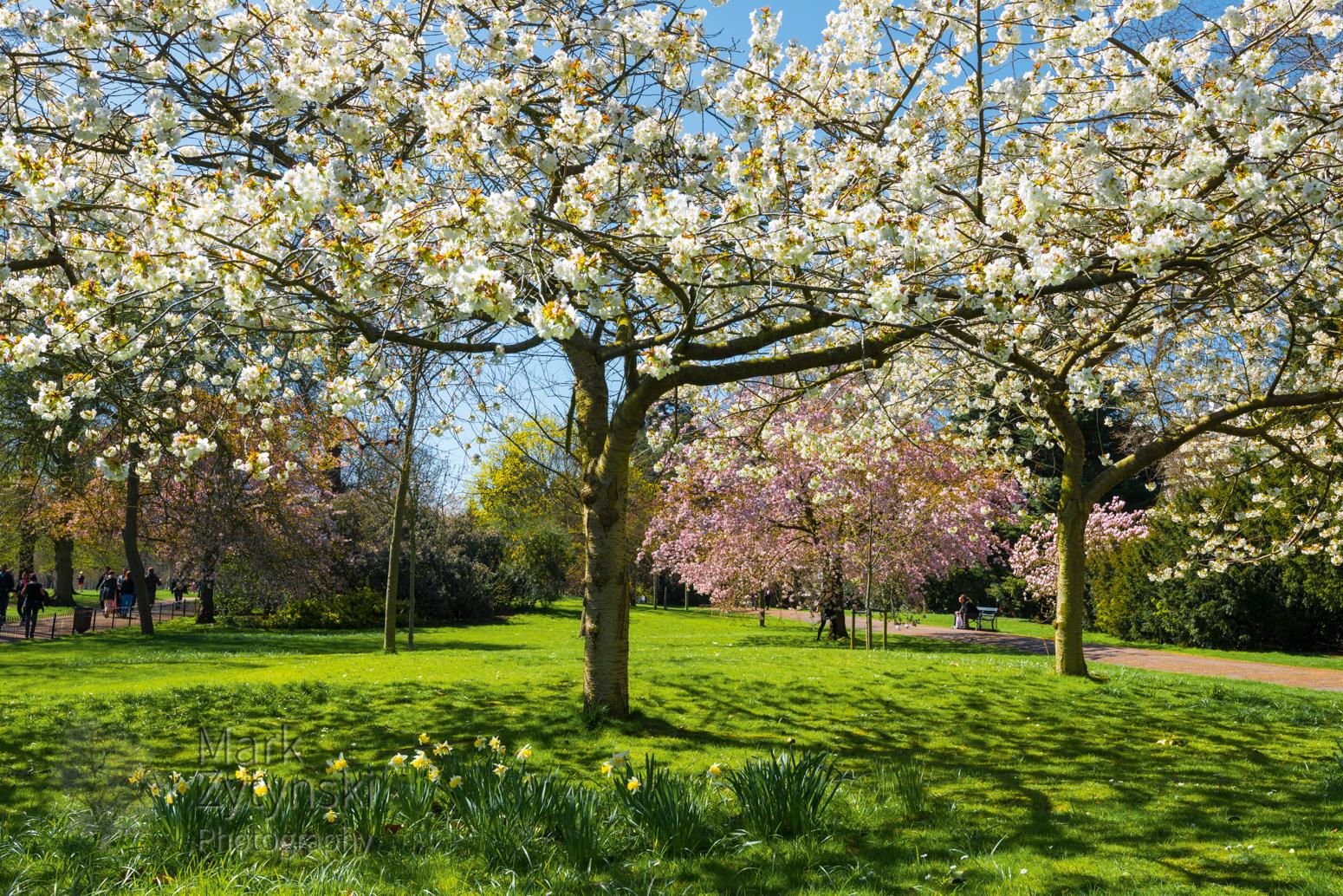 Cherry Blossom in Kensington Gardens Blog #2