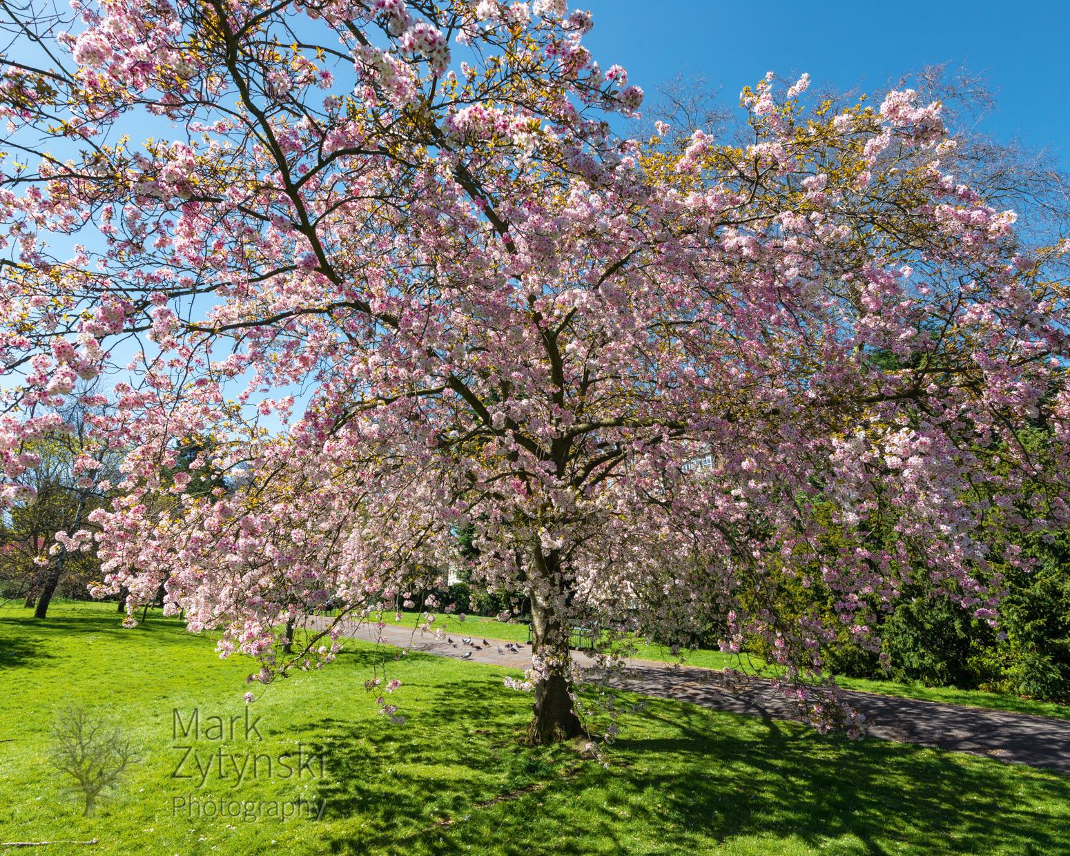 Cherry Blossom in Kensington Gardens Blog #4