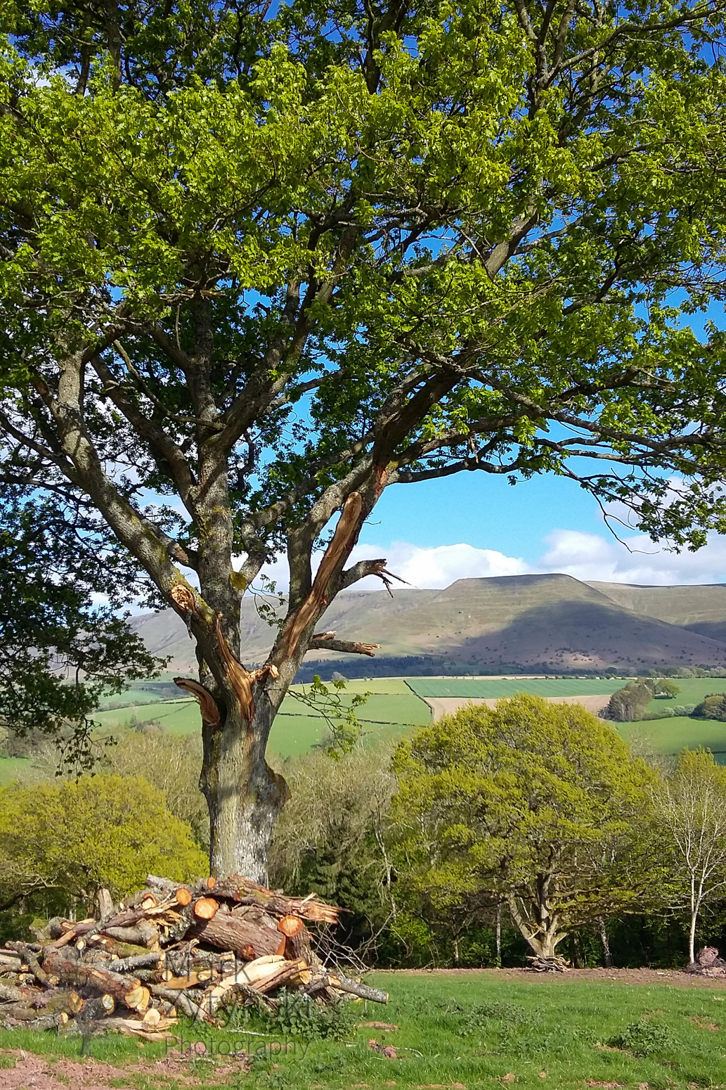 Bluebells, Oaks and Mountains #3