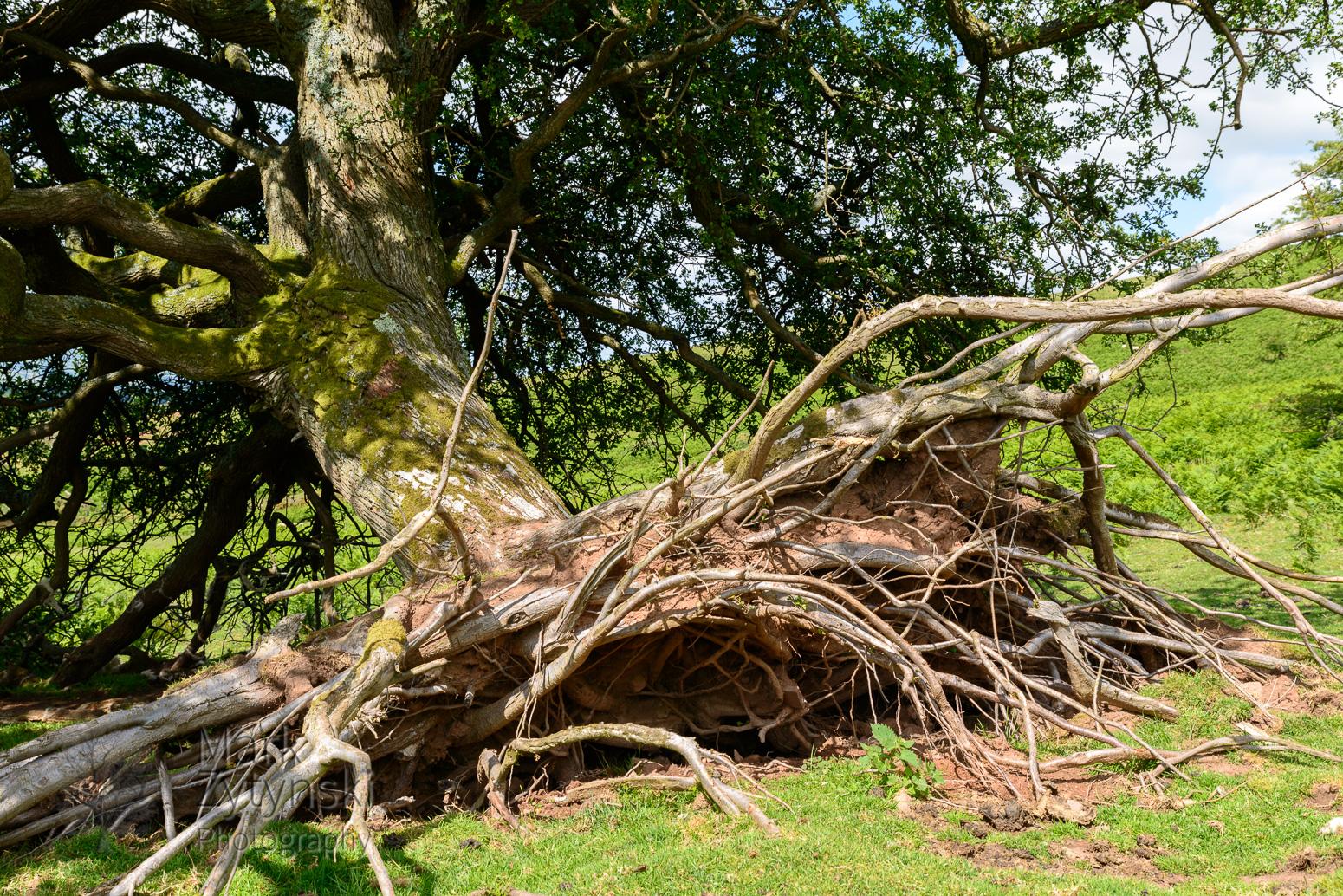 Thorn Trees on Y Das - 3