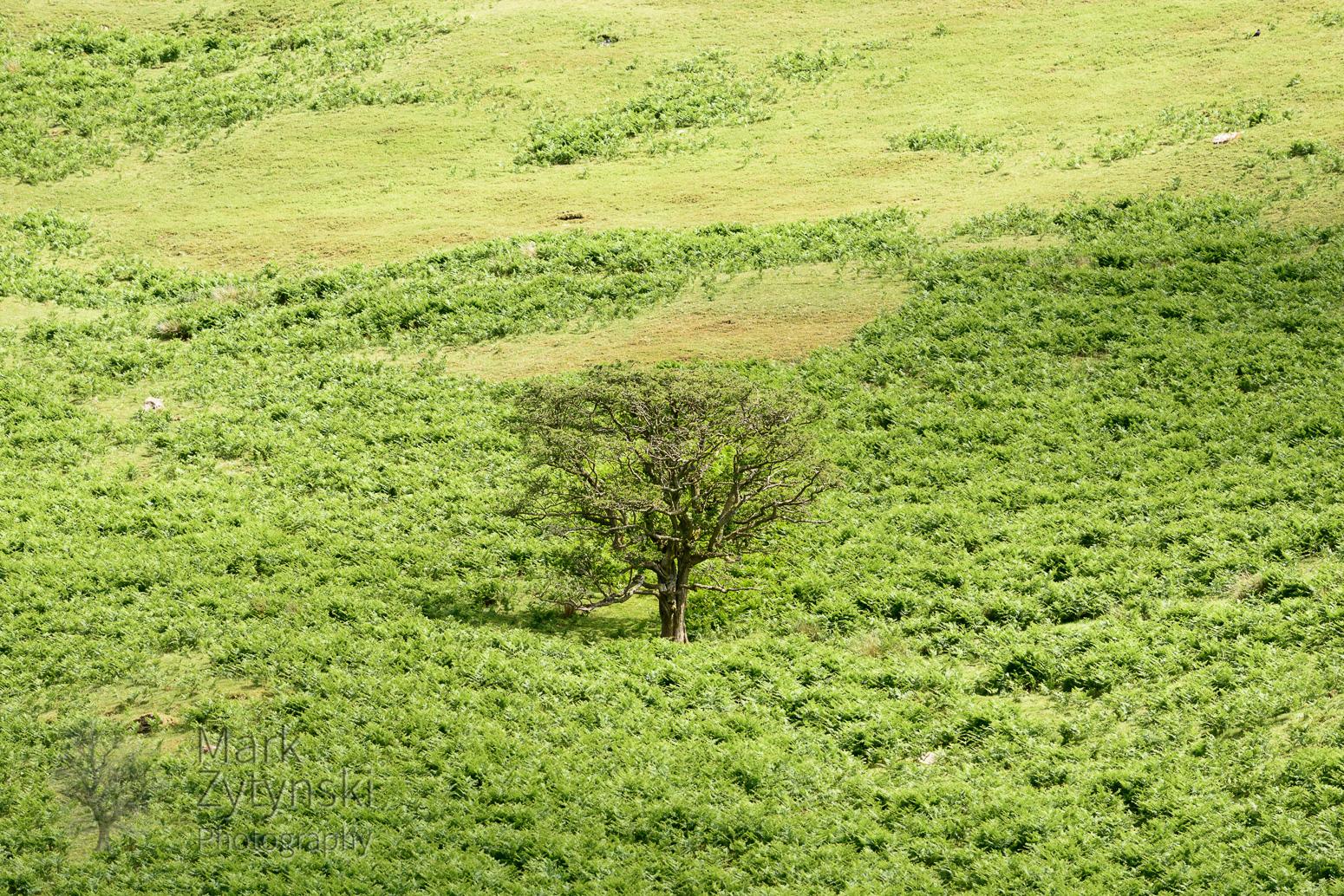 Thorn Trees on Y Das - 2