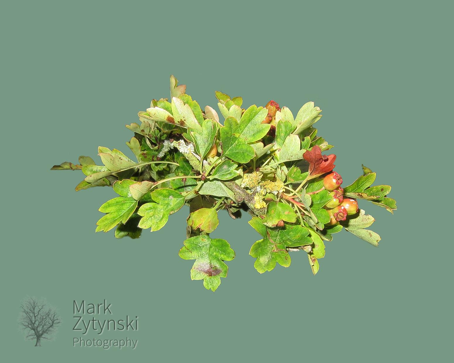 Zytynski_thorn_leaves.jpg