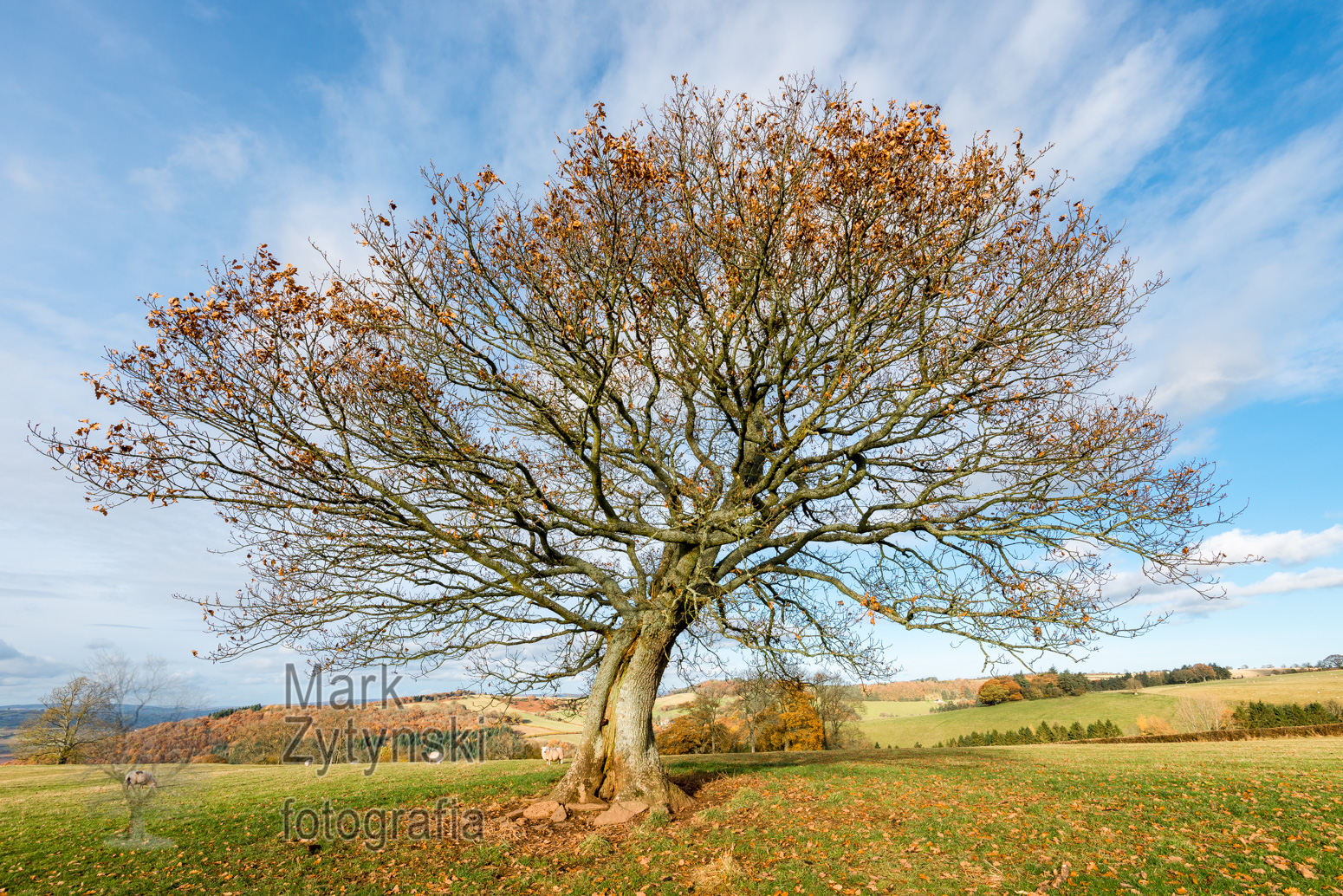 Windswept Oak