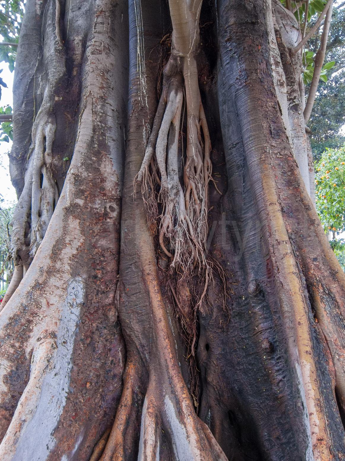 Zytynski-seville-banyan-tree-1487.jpg