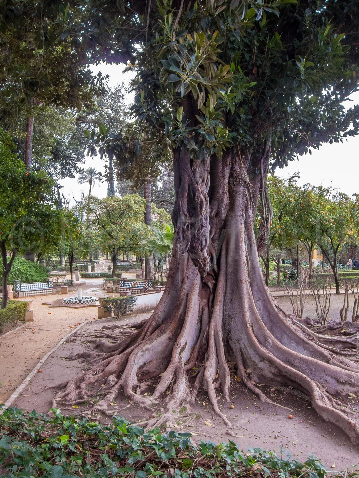 Zytynski-seville-banyan-tree-1482.jpg