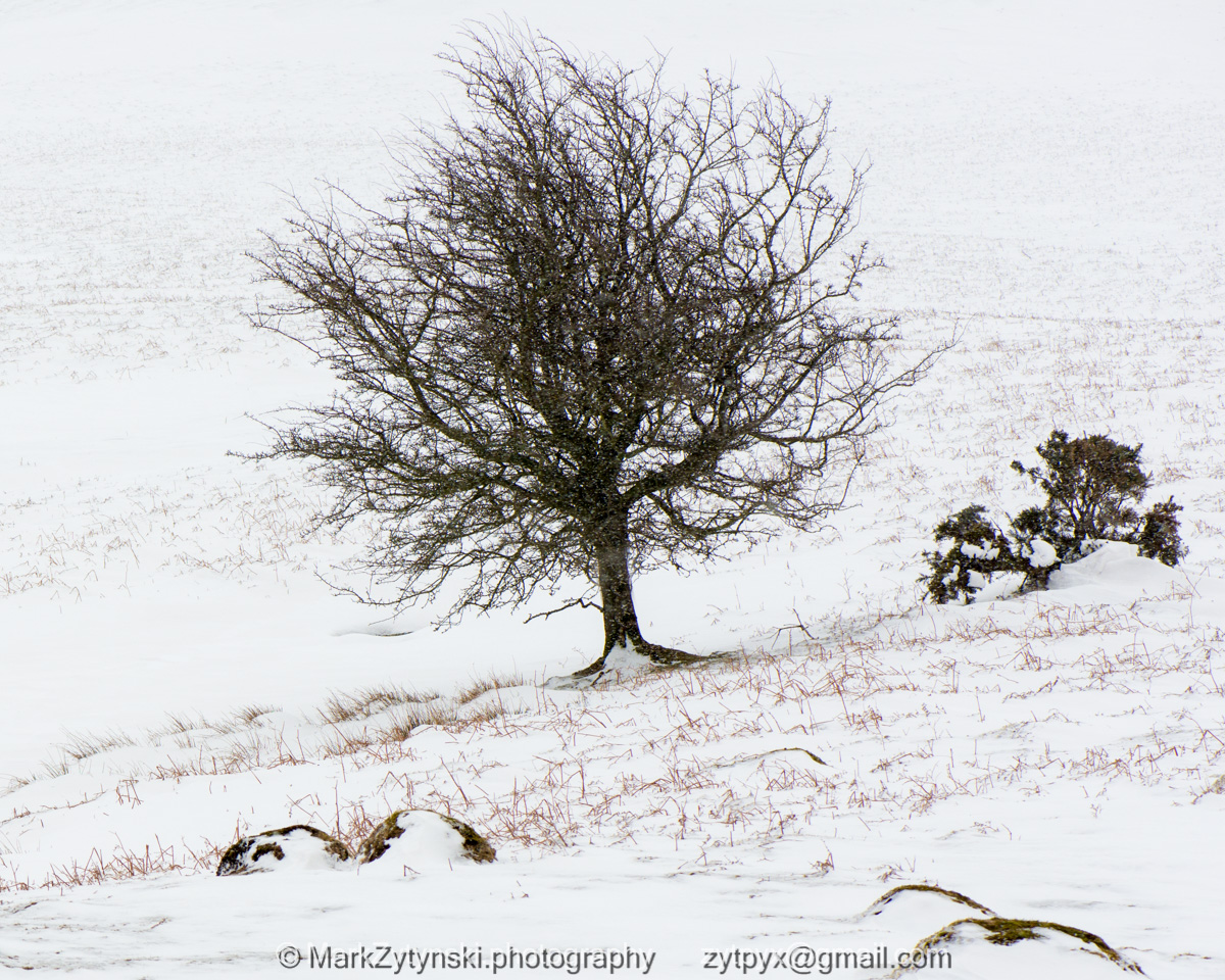 Thorn in the Snow