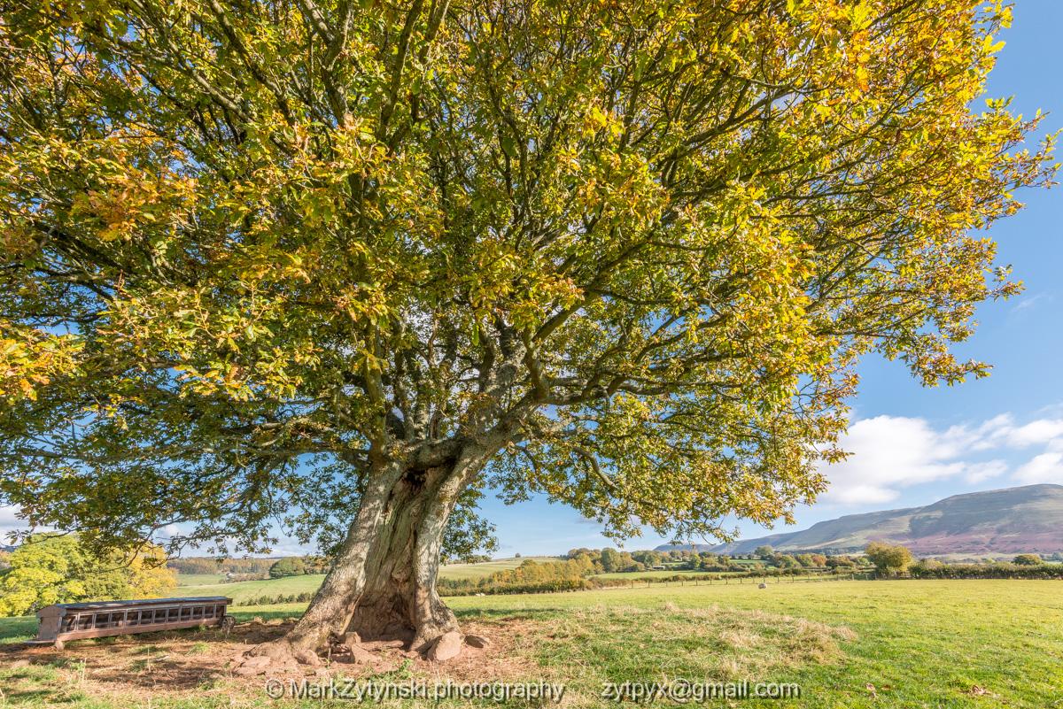 Lonely Oak above Talgarth (90740)