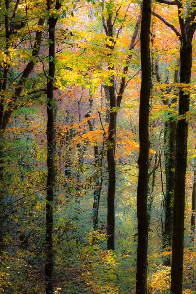B - Autumn Beech in Park Wood