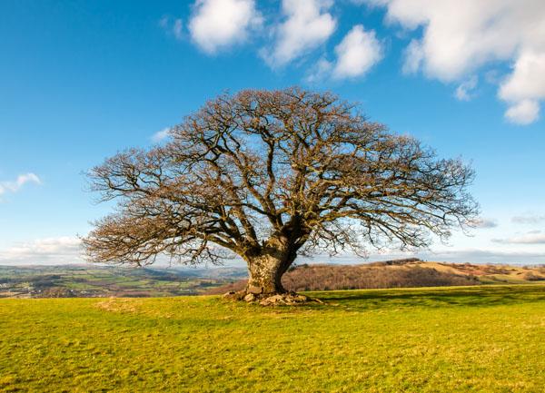 L - Stumpy Oak above Talgarth