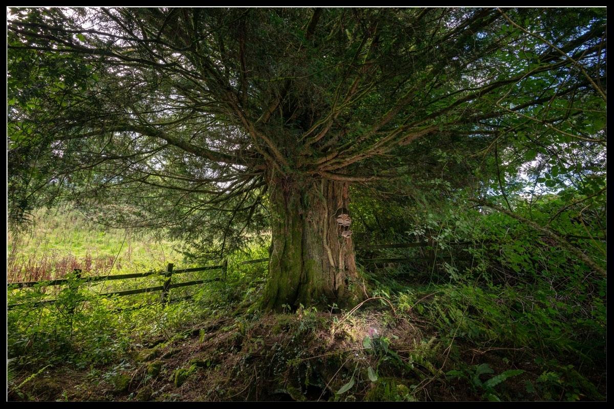 Carreg Gwenlais Yew