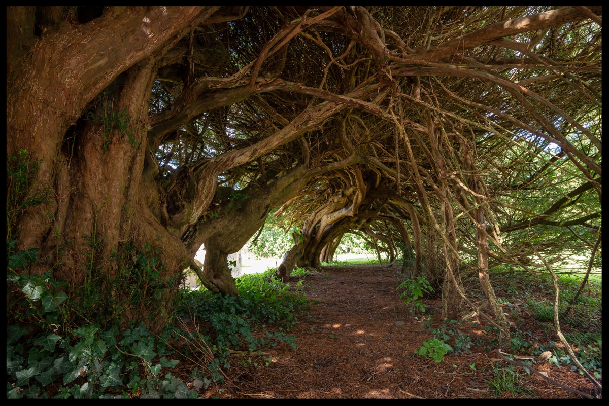 Aberglasney Yew Tunnel