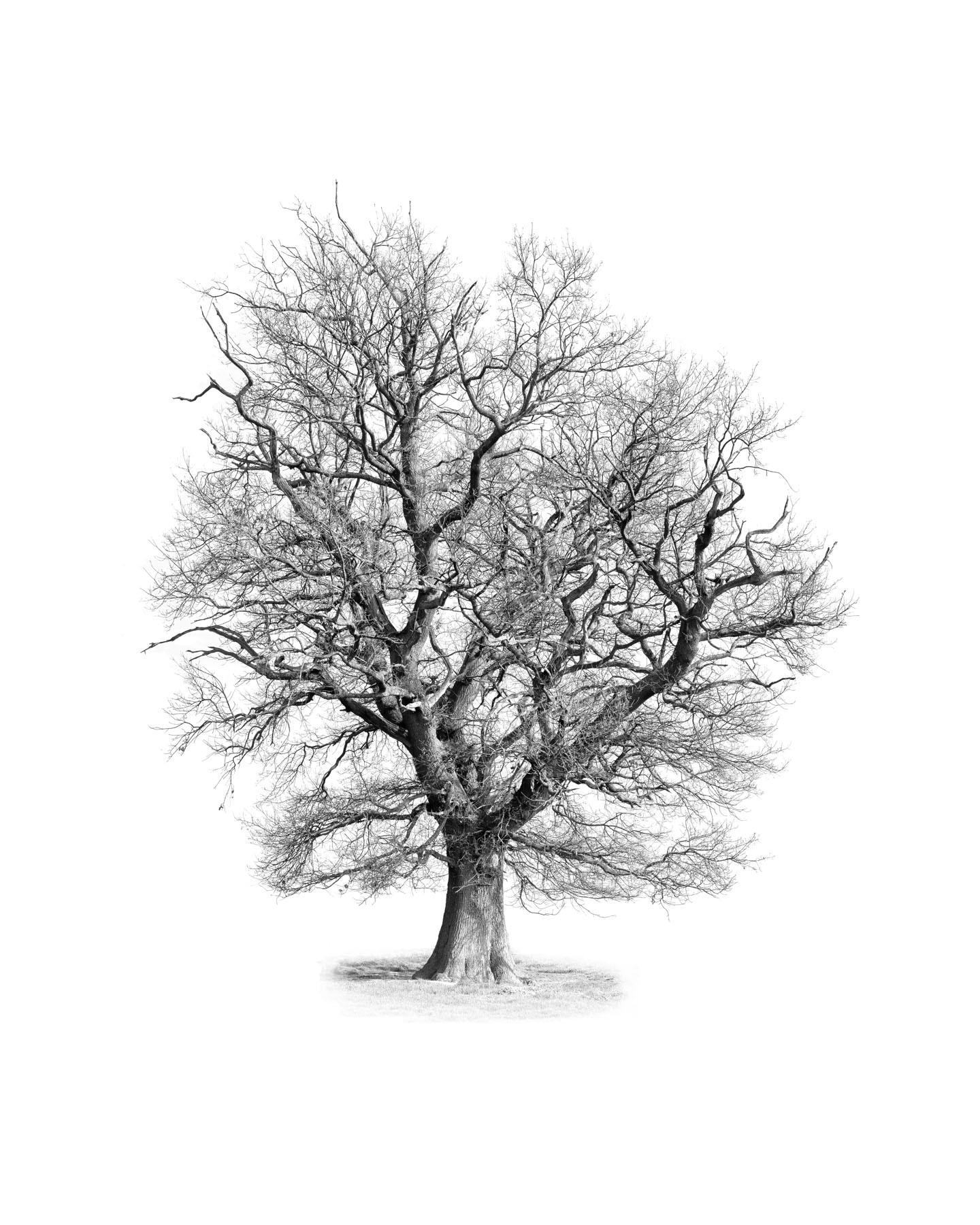 Portrait of a Naked Oak