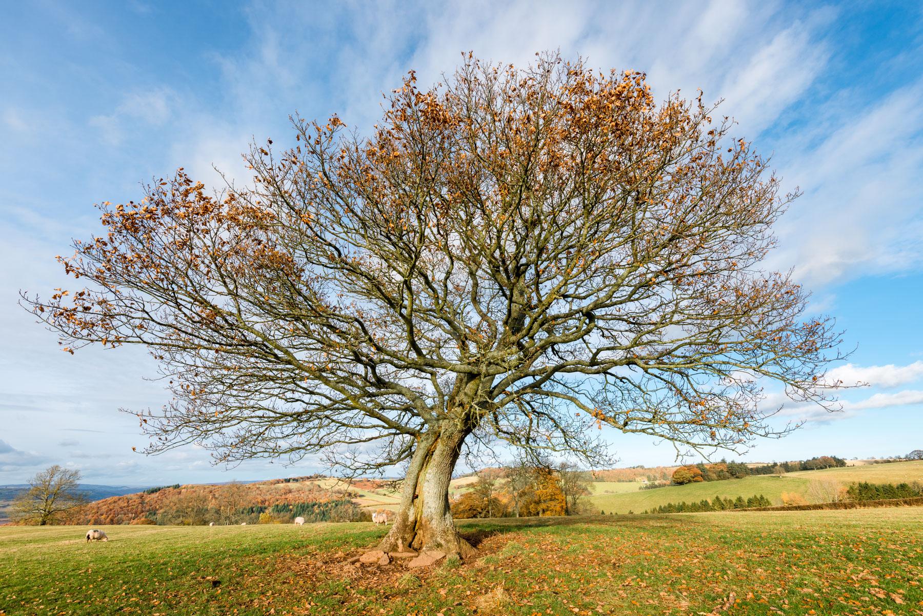 Lonely Oak above Talgarth