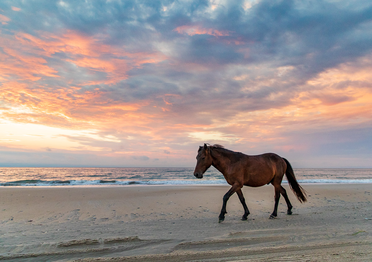 Wild Horses Of The Outer Banks Mark