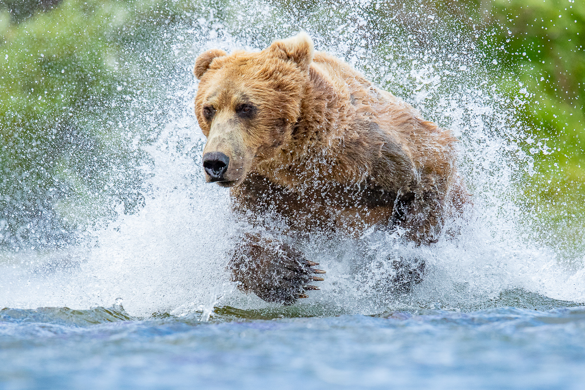Alaska Brown (Grizzly) Bear Photo Safari - JULY 1-7, 2019 | JULY 7-12, 2019 (Full)AUG 9-14, 2020 (1 SPACE LEFT)