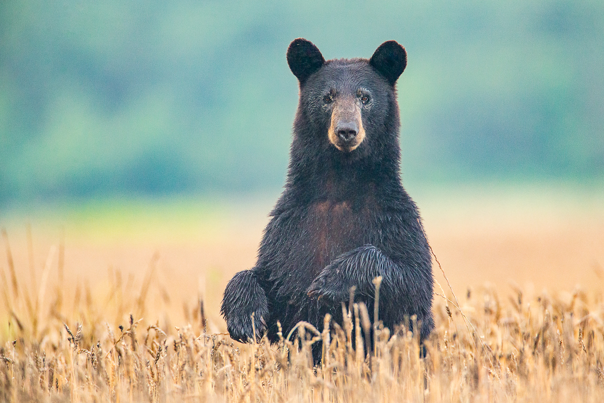 Black Bears of Coastal NC - MAY 15-17, 2019 | JUNE 11-13, 2019 | JULY 17-19, 2019FALL DATES FOR 2019 TO BE ANNOUNCED IN SUMMER 2019MAY 22-24, 2020 | JUN 1-3, 2020 | JUN 11-13, 2020JUN 29-JUL 1, 2020