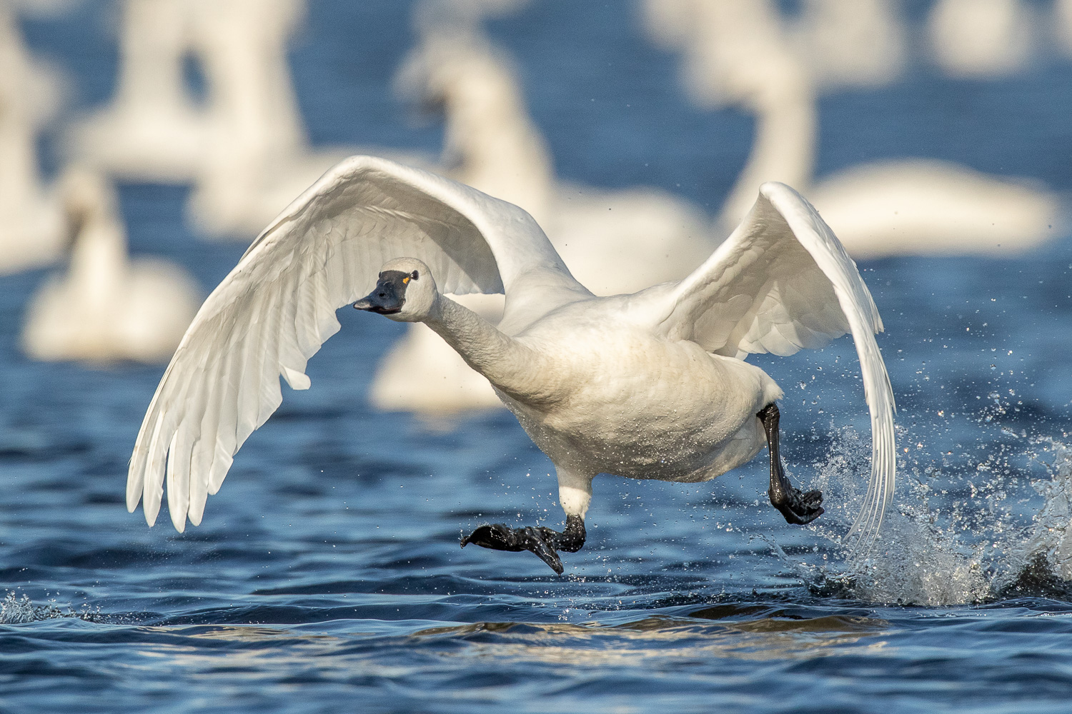 Waterfowl Photography (Mostly Tundra Swan & Snow Geese in eastern NC) - This workshop takes place in eastern North CarolinaJAN 15-17, 2020 | JAN 30-FEB 2, 2020FEB 14-16, 2020