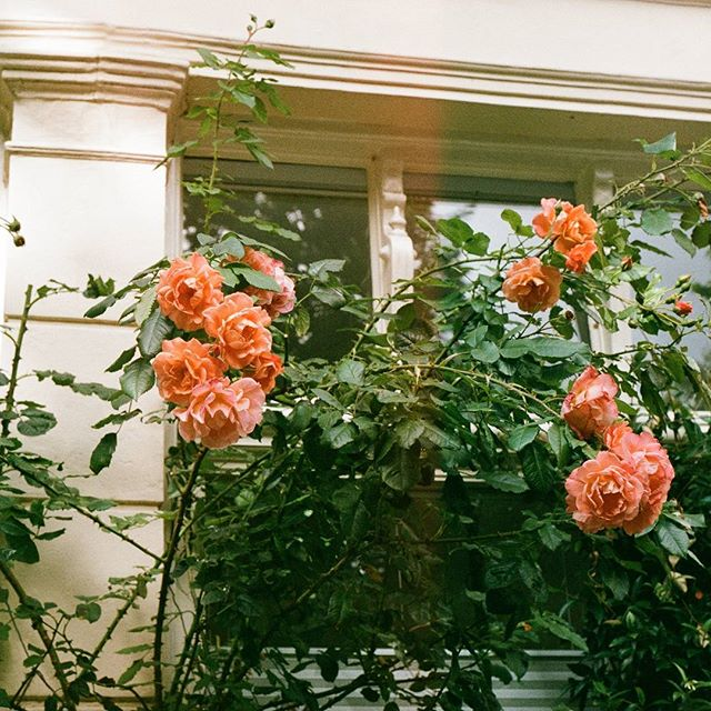 My favourite thing about shooting with film is finding the rolls months later, having totally forgot what you captured... and learning your film slr needs a serious tune-up.  #tbt #lightleak #35mm #film #filmslr #roses #flowers #floral #flora #amsterdam #netherlands #nederlands