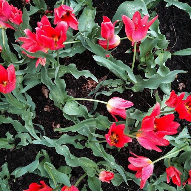 The Toronto tulip... kind of wild and all over the place in the best way possible  #canada150 #ottawa #tulip #tulipfestival