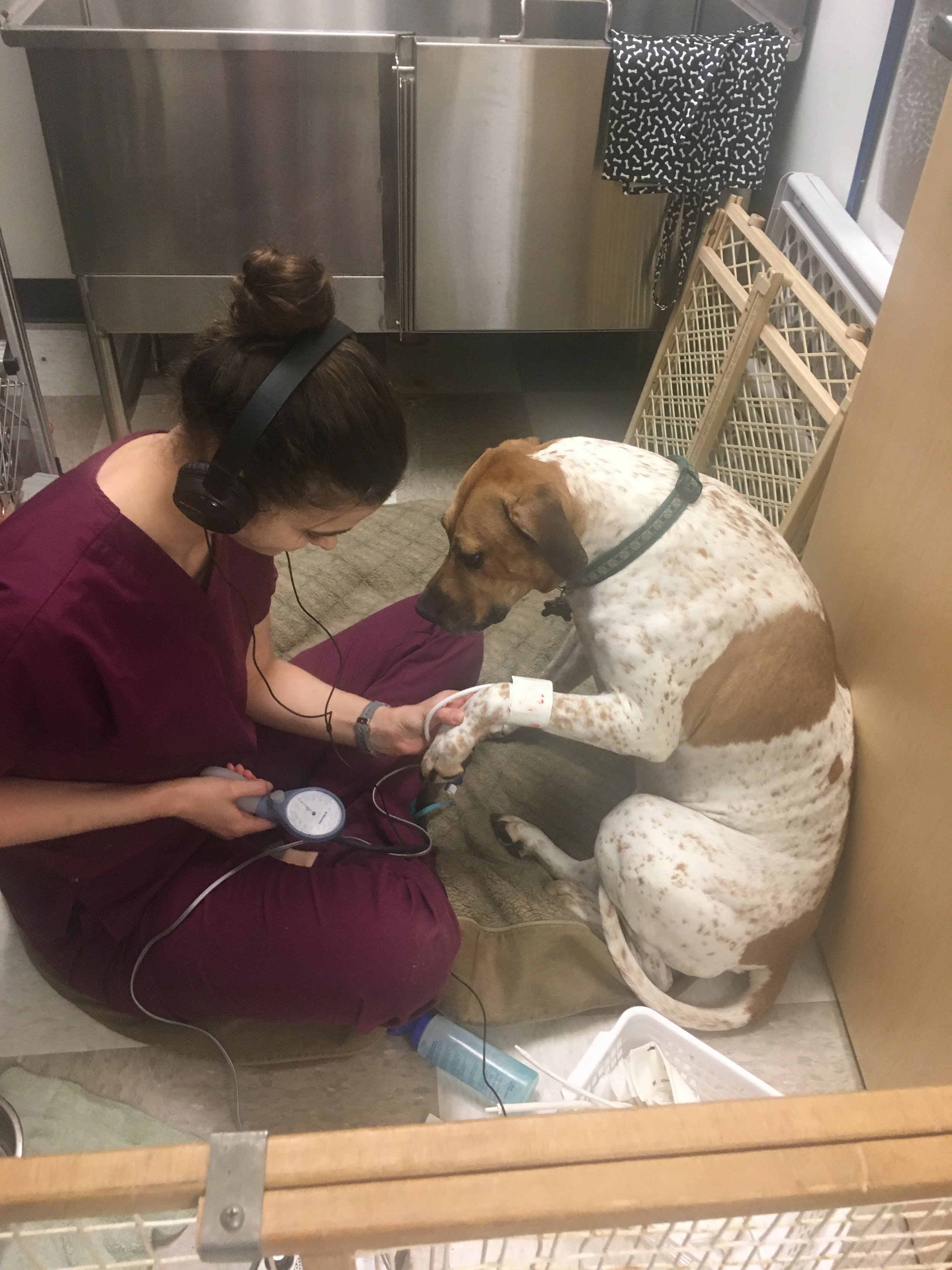 Clarendon Animal Care Veterinary Clinic Arlington Virginia staff getting a blood pressure on a dog