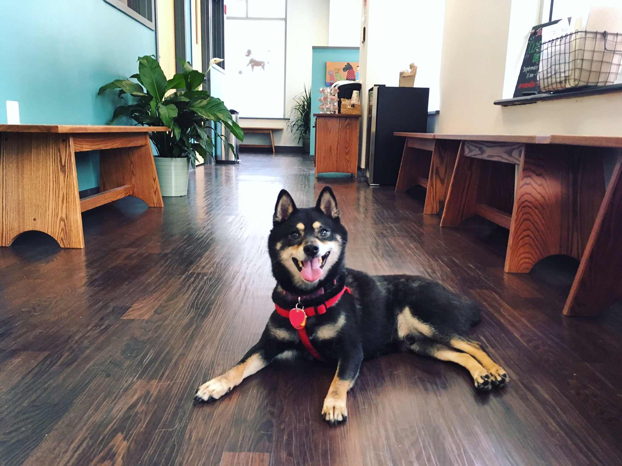 Clarendon Animal Care Veterinary Clinic Arlington Virginia Shiba Inu