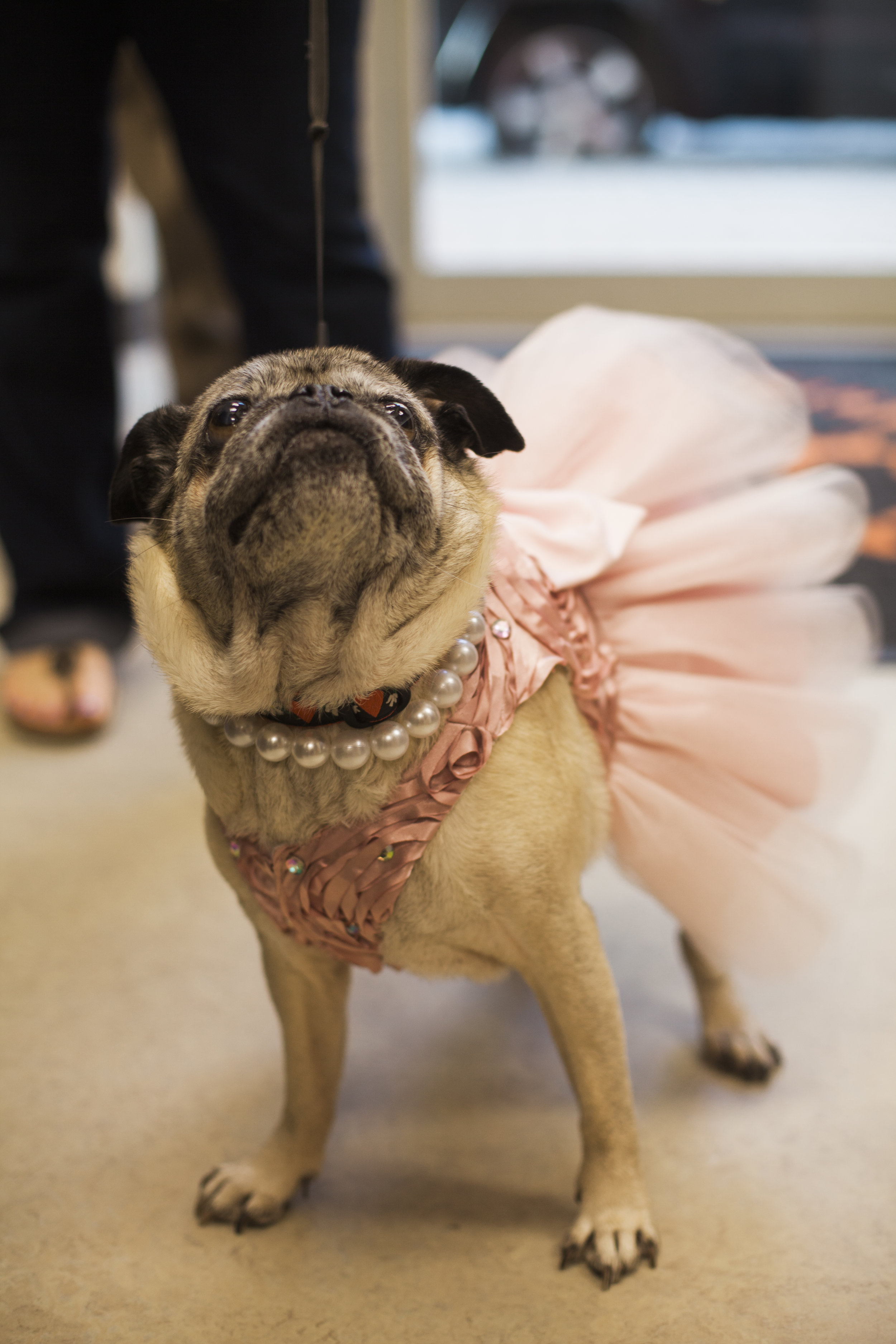 Clarendon Animal Care Veterinary Clinic Arlington Virginia Pug in a Pink Tutu