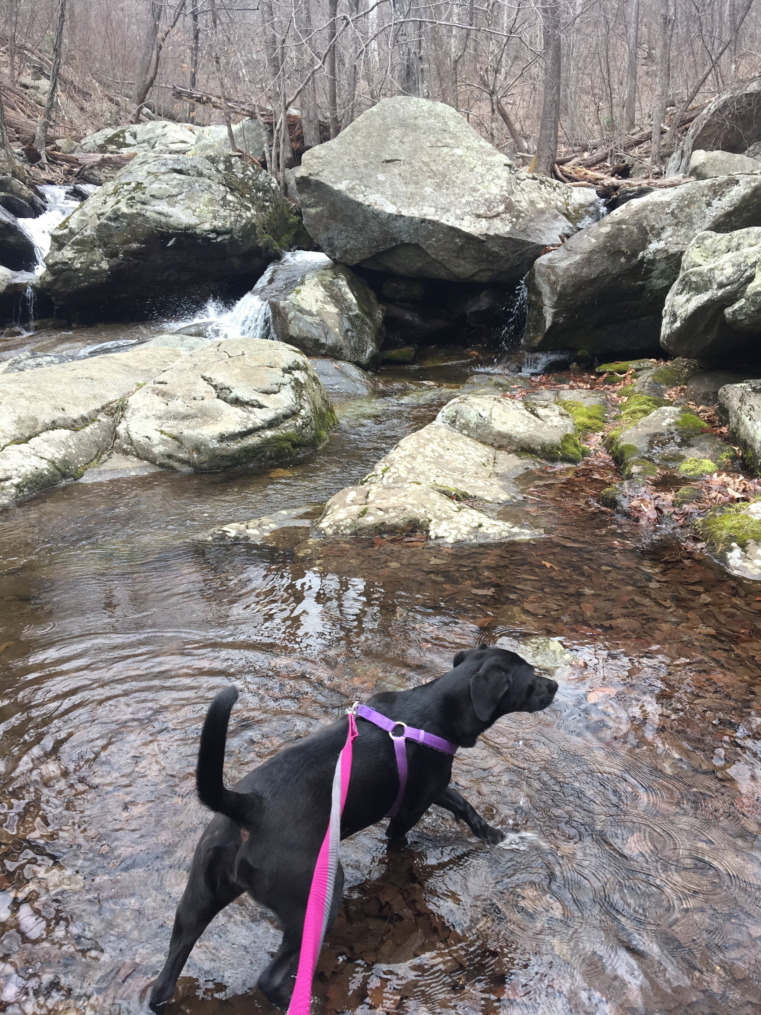 Leptospirosis Dog Health Clarendon Animal Care Arlington Veterinarian.jpeg