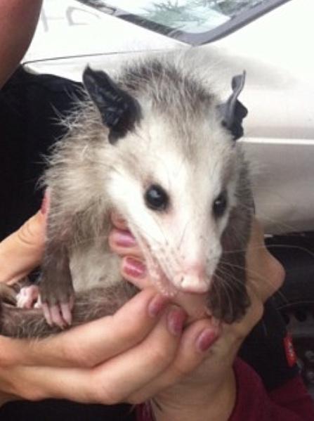 Leptospirosis Rodents Spread Canine Health Blog Clarendon Animal Care Arlington Veterinarian.jpeg