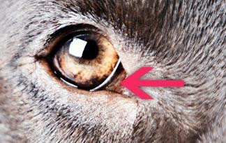 dog-third-eyelid-324x205.jpg