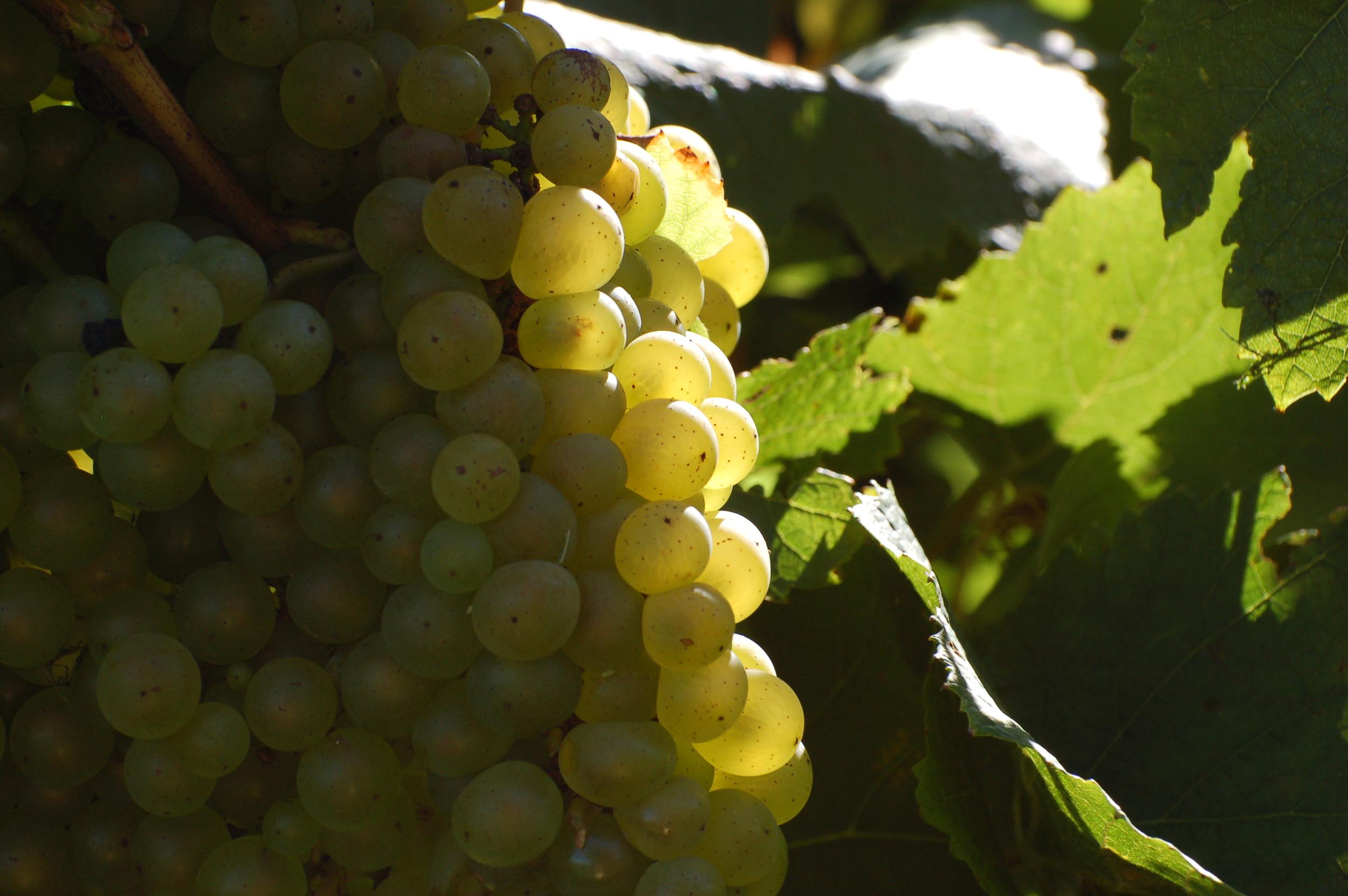 Maryland Chardonnay Grapes