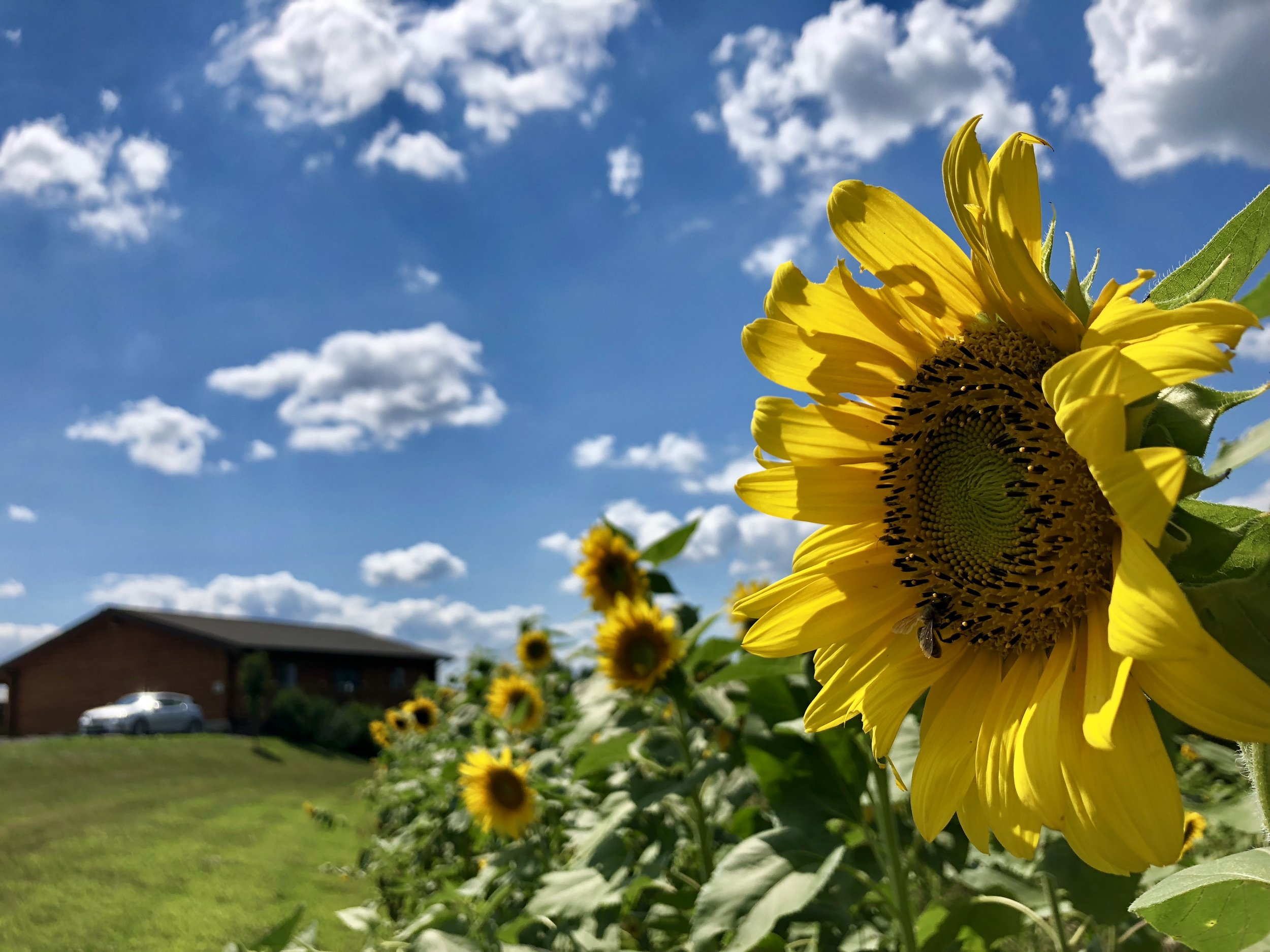 Tours + Sunflowers - A peek behind the scenes with a gorgeous field of sunflowers to boot