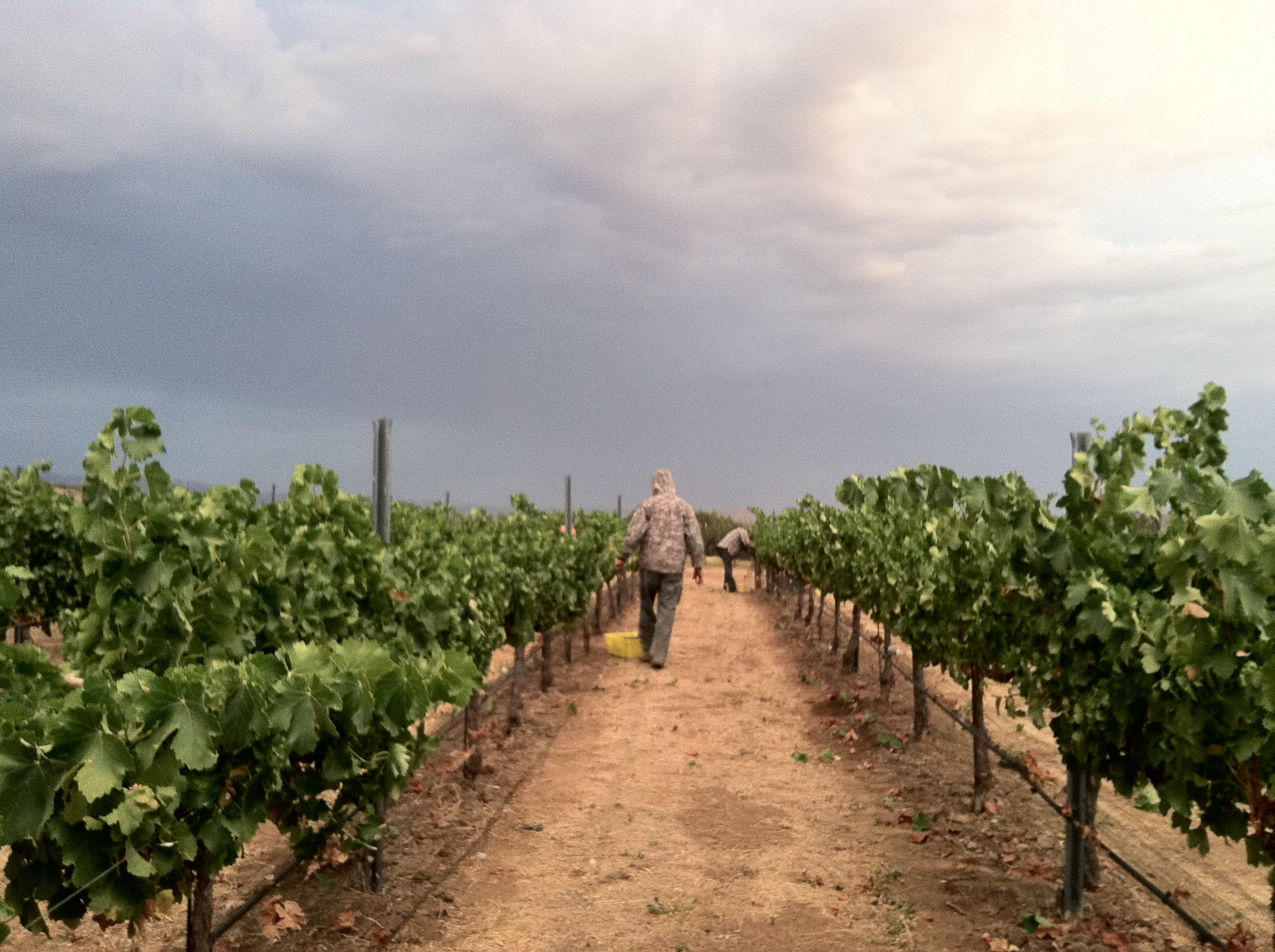 Vineyard workers picking grapes. Links to Vineyards page