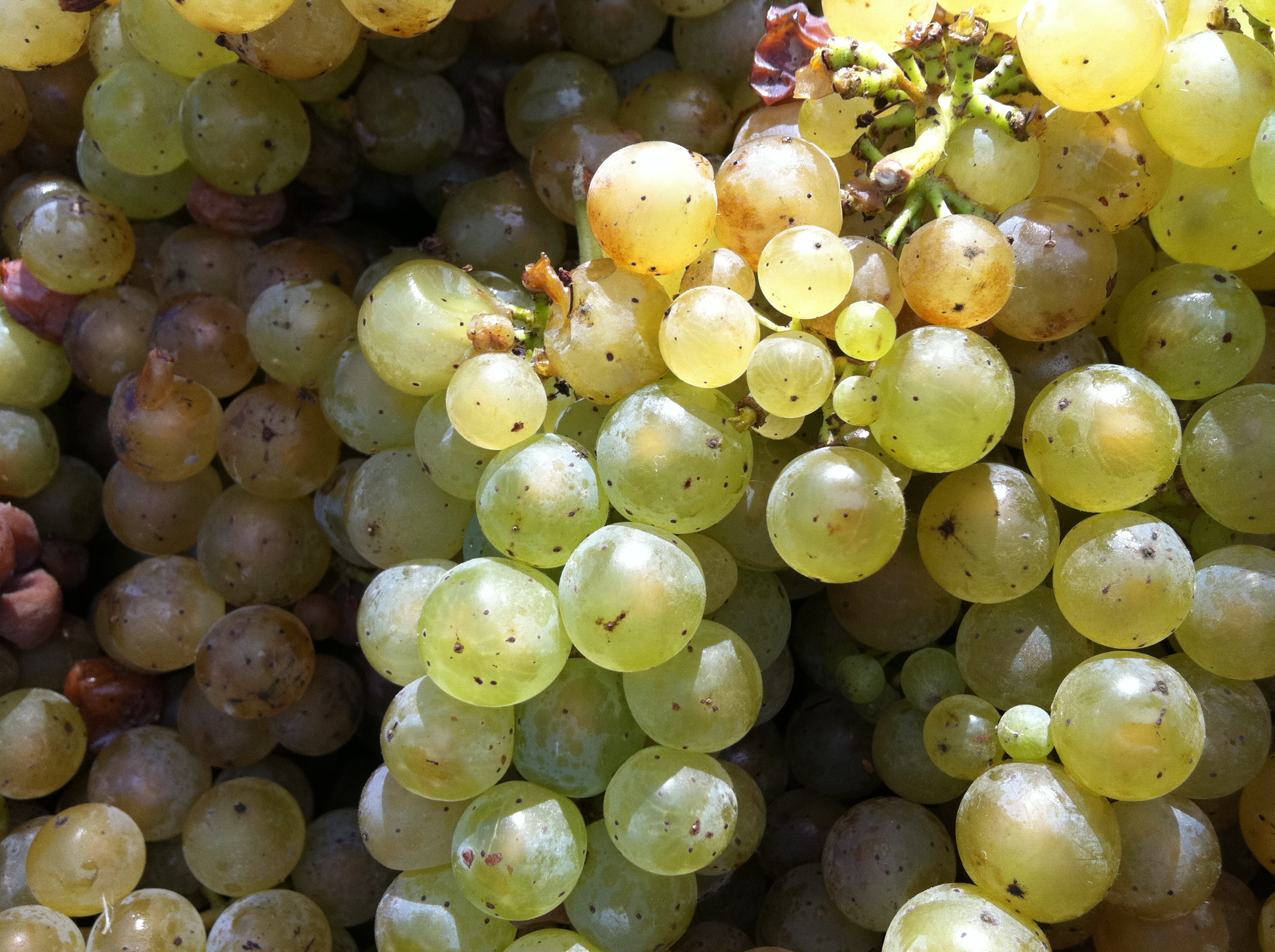 Ripe Riesling grapes