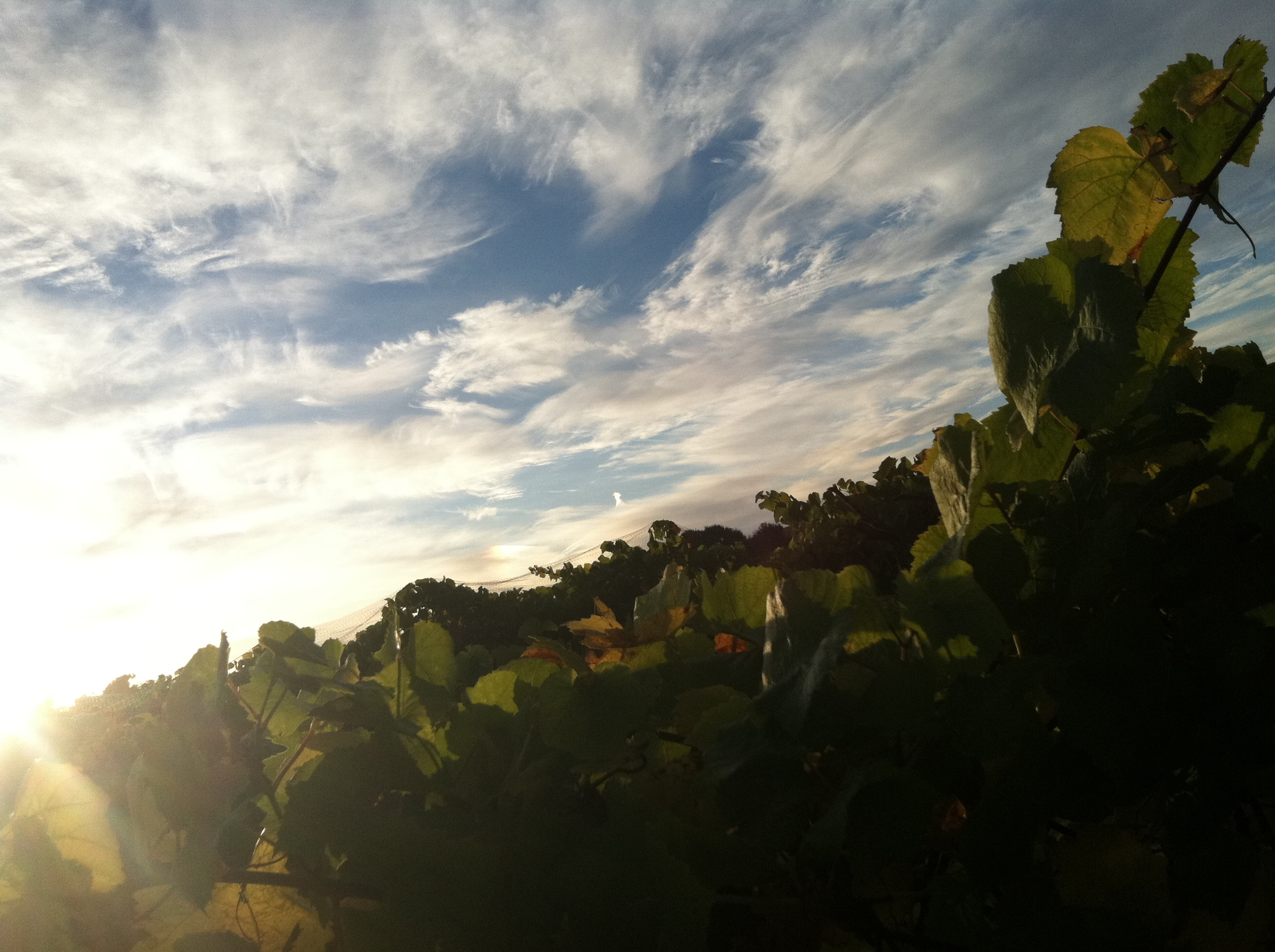 Blue sky and clouds over Riesling vines